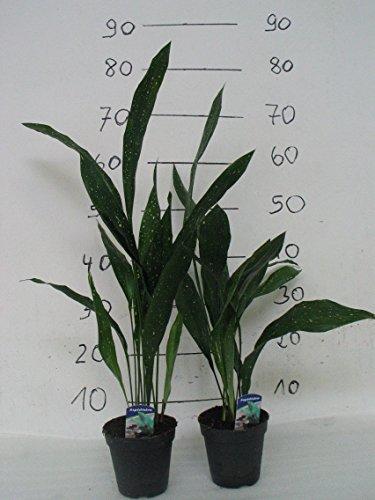 2 Pflanzen Aspidistra ,Schusterpalme,Metzgerpalme,Schildblume 50- 60cm +/-