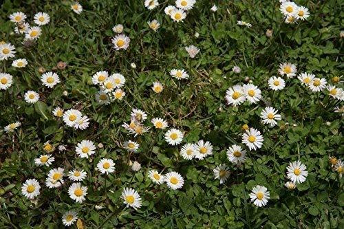 Wildes Gänseblümchen 500 Samen (Wild-kräuter Samen)