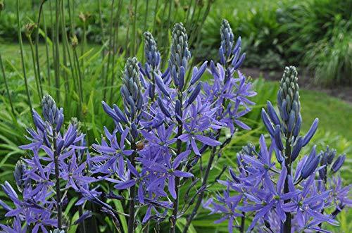 Generic Mehrjährige Blüte CAMASSIA LEICHTLINII (BLUE CAMASS) 30 SAMEN