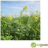 Semillas de hierbas - Mostaza negro - Brassica nigra / Sinapis nigra - Brassicaceae 200 semillas