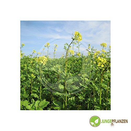 Kräutersamen - Senf / schwarzer - Brassica nigra / Sinapis nigra 200 Samen