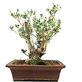 Bonsái Olivo, Olea europaea, 28 años, altura 45 cm
