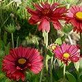 lichtnelke - Rote Kokardenblume (Gaillardia aristata 'Burgunder') Tb9 von Lichtnelke Pflanzenversand - Du und dein Garten