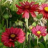 lichtnelke - Rote Kokardenblume (Gaillardia aristata 'Burgunder') Tb9