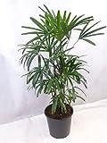 Rhapis excelsa - Steckenpalme - 140 cm // Zimmerpflanze, Zimmerpalme auch für dunklere Ecken