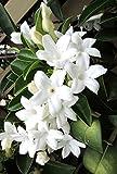 Portal Cool Stephanotis Floribunda Madagascar Jasmine vite Rare Esotico seme di fiore 10 Semi
