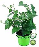 Süßkartoffel Pflanze, Gemüsepflanze aus Nachhaltigem Anbau, Ipomea batata