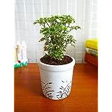 Rolling Nature Aralia Variegated In White Jar Aroez Ceramic Pot