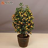 100pcs / bag Balcón Patio de tiesto Fruta del kumquat árboles plantados Semillas Semillas Semillas de naranja mandarina Citrus