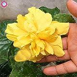 100PCS géant pétales de double graines d'hibiscus rares graines d'hibiscus bleu graines de fleurs Bonsai Plante vivace à l'intérieur pour le jardin à la maison 12