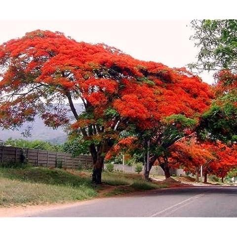 5 PC colorati semi Poinciana brasiliano. Albero alto Seed .La più bel paesaggio giardino di j68n - Inverno Fioritura Alberi