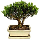 Bonsai - Boxwood - Buxus herlandii, 20cm pot - Outdoor-Bonsai