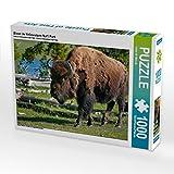 Bison im Yellowstone Nat'l Park 1000 Teile Puzzle quer (CALVENDO Tiere)