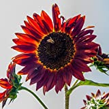 Swiftt 50 Pcs Helianthus annuus Sonnenblume Big Smile niedrig in rot Saatgut