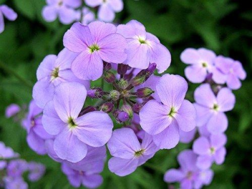 Gewöhnliche Nachtviole - Hesperis matronalis - 500 Samen