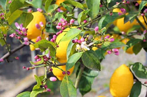 Pianta di Limone Lunario `4 stagioni` (vaso - 20)