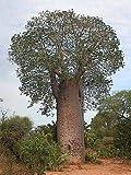 3x Adansonia za afrikanischer Affenbrot Baum Pflanze Samen Winterhart Neu B521