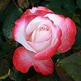 Edelrose Nostalgie® - Stark duftende Rose mit zweifarbiger Rosenblüte in
