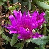 Mittagsblümchen PINK ZULU ( Delosperma )