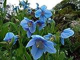 Portal Cool Meconopsis betonicifolia Himalayan Blue Poppy Seeds perenni!