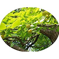 Arganbaum Argania spinosa Arganie Argan Pflanze 10cm Arganöl Öl Rarität selten