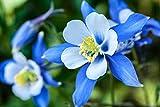 Akelei blue Star 20 Samen Akelei Blauer Stern (Aquilegia)
