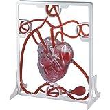 Miniland Miniland99048 - Set de Sistema circulatorio