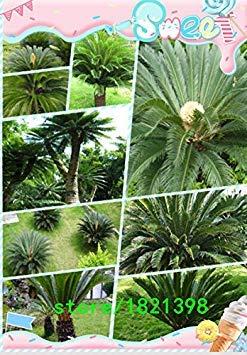 100 pièces / sac, Cycadales graines, Cycas revoluta, balcon en pot, la plantation est simple, le taux de bourgeonnement de 95%