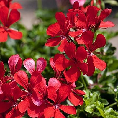 Geranien, hä, rot, Ville de Paris 6 Stück 12 cm Topf von Landgard Blumen & Pflanzen auf Du und dein Garten