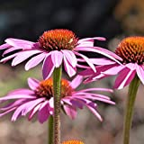 Müllers Grüner Garten Shop Purpur- Sonnenhut, Echinacea purpurea Magnus, purpurrosa Blüte, Staude im 0,5 Liter Topf