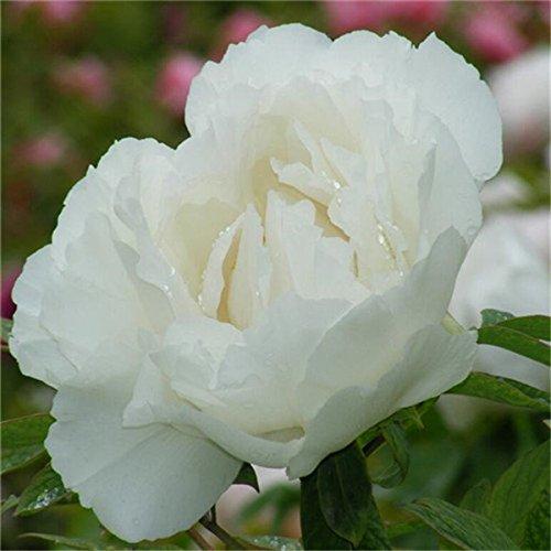 5 pièces / sac graines de pivoine, jaune, graines de fleurs de pivoine rose chinoise belles graines de bonsaï plantes en pot pour le jardin de la maison 7