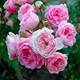 André Eve - Rosier The Fairy - Pot 5 Litres - Couleur : Rose