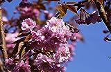 Japanische Blütenkirsche Prunus serrulata Kanzan Containerware 60-100 cm