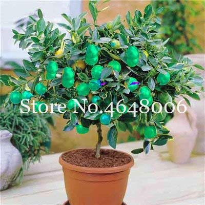Bloom Green Co. 20 Stück Zitrone Bonsai New DrawF Baum Bio-Obst für Hausgarten liefert einfache Exotic Citrus Bonsai Topfbaum Fresh Anlage wachsen: 1 -