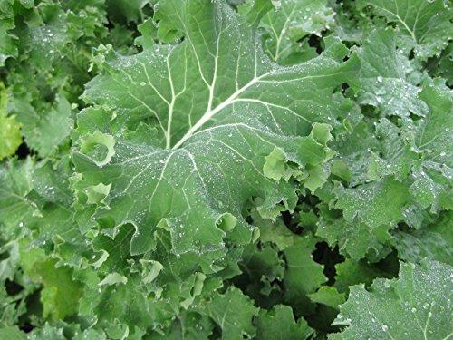 PLAT FIRM Germination Les graines: Graines: 1000+ AMELIOREES Sibérien Kale GRAINES HEIRLOOM Potager Verts non-OGM santé