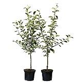 Müllers Grüner Garten Shop 2er Set dreijähriger kräftiger Apfelbaum Buschbaum verschiedene historische und neue Sorten M7