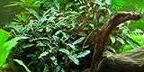 Aquariumpflanze Bucephalandra sp. 'Red' von...