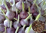 Herb Knoblauch Echte Samen Bulbillen Lyubasha Organisch gewachsen Ukrainische Heirloom
