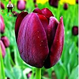 White : 100Pcs Tulip Seeds,Aromatic Flower Seeds Potted Plants Most Beautiful Colorful Tulip Plants Perennial Garden