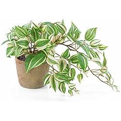 artplants - Künstliche Tradescantia PACO im Terracotta Topf, grün-weiß, 50 cm - Deko Dreimasterblume getopft/Kunstpflanzen Hänger