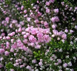Calluna vulgaris J.H. Hamilton - Sommerheide J.H. Hamilton - Besenheide - lachsrosa gefüllte Blüte - Calluna Stückzahl Rabatt Einzelpreis