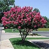 vegherb Kreppmyrte Baumsamen (Lagerstroemia Indica) 50 + Seeds