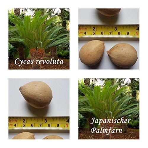 Japanischer Palmfarn - 3 Samen - Cycas revoluta - frosthart !!
