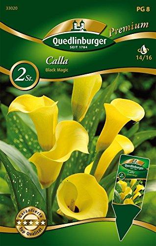 Quedlinburger 33020 Calla Black Magic (Callazwiebeln)