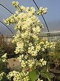 Edelflieder Mme Lemoine 40-60 cm Strauch für Sonne-Halbschatten Zierstrauch weiß