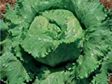 Eisberg-Salat - Eisbergsalat - Great Lakes 118 - Preisgewinner - 250 Samen