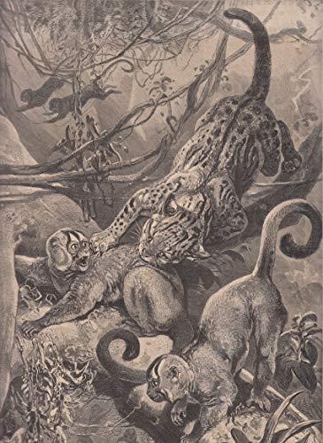 Tiere - Ozelot, Nachtaffen überfallend. [Grafik]