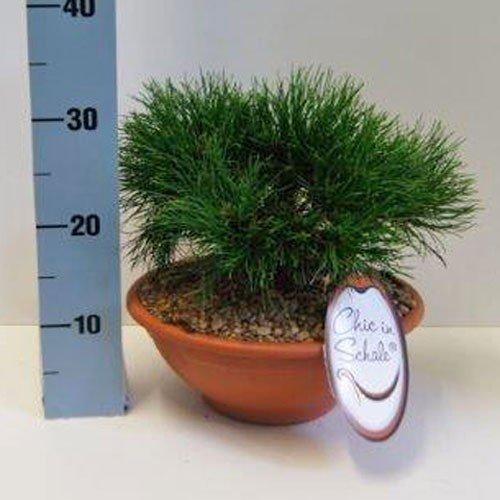 Kompakte Kugel-Bergkiefer Pinus 'Varella' 20-25 cm 3,5 l Schale terracotta