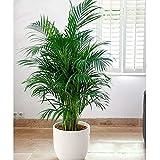 Dekoration Pflanze Areca Palme Pflanze Zimmerpflanzen Schmetterling Palme Pflanze Bonsai Samen