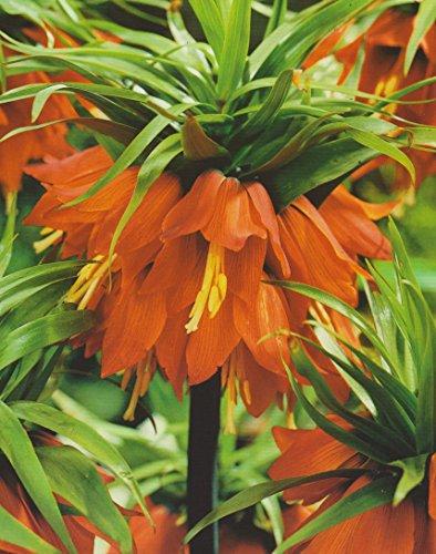 5 Kaiserkronen Fritillaria Imperialis Rubra Blumenzwiebeln